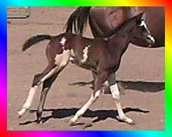 Brown Frame Overo Thoroughbred Mare