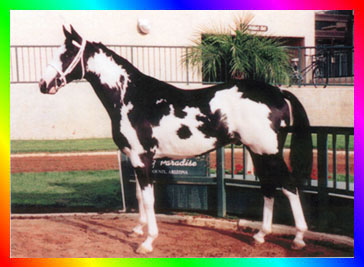Black Sabino Frame Overo  				Thoroughbred Stallion Double Registered